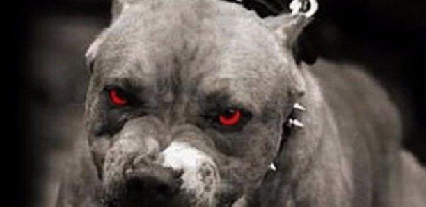 """Talibé agressé : """"Le pitbull n'a pas été tué mais isolé"""""""
