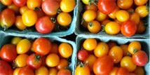 Environ 40.000 tonnes de tomate produites sur un objectif de 75.000
