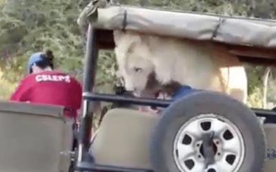 Incroyable ! Ce lion saute dans la voiture des touristes...