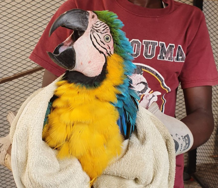 Crime de faune : Un trafiquant de perroquets protégés interpellé à Thiaroye