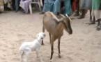 Incroyable: Une chèvre donne naissance à un agneau à Gadayel