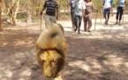 VACANCES GOUVERNEMENTALES : Quand Aly Ngouille Ndiaye décompresse avec des lions...