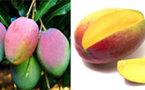 Mangue : la production des variétés kent et keit expérimentée à Matam