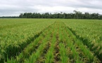 Destruction de leurs productions par des rats: l'État prévoit 2 milliards FCFA pour les riziculteurs du Walo