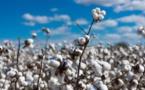 Relance de la filière coton : La production passe de 15 000 à 20 000 tonnes