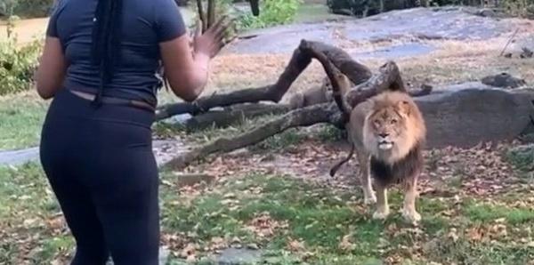 Elle pénètre dans l'enclos d'un lion au zoo du Bronx