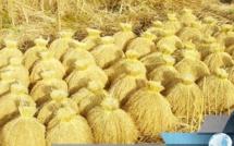 SODAGRI table sur une production de 270 000 tonnes de riz Kolda